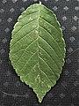 Rebona leaf 1.jpg