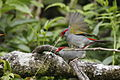 Red-browed finch mating.jpg