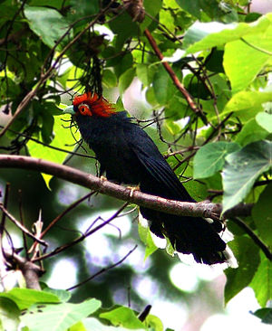 Rough-crested malkoha - Image: Red crested malkoha