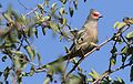 Red-faced mousebird, Urocolius indicus, at Pilanesberg National Park, Northwest Province, South Africa (28386328890).jpg