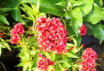 Red-flower-carpet1.jpg