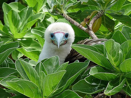 Red-footed booby at Palmyra Atoll Red-footed Booby (5896652469).jpg