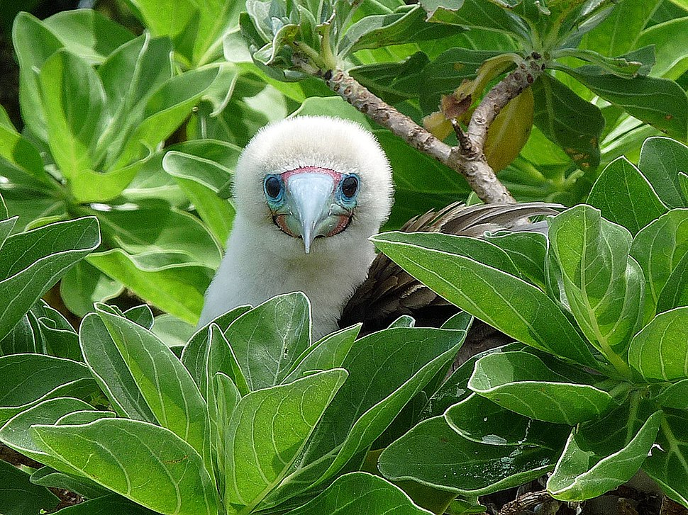 Red-footed Booby (5896652469)