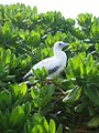 Red-footed Booby FWS 12643.jpg