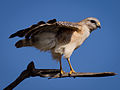 Red-shouldered Hawk-27527-3.jpg