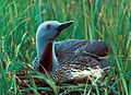 Red-throated loon.jpg