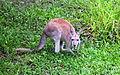 Red Kangaroo, Australia Zoo (3341175688).jpg