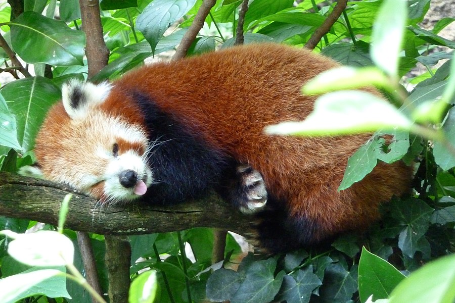 English:  Ailurus fulgens, or Red Panda, sticking out his tongue after a yawn in the zoo of Doué-la-Fontaine Doué-la-Fontaine.