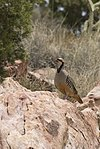 Red Rock Canyon Nevada - Chukar (Alectoris chukar).jpg