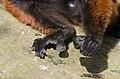 Red Ruffed Lemur (16435286023).jpg