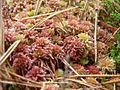 Red bog moss.jpg