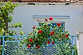 Red roses on a fence.jpg