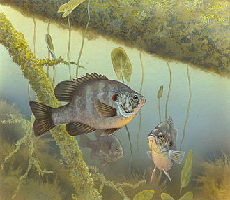 Redear sunfish - Illustration of the redear sunfish, Lepomis microlophus