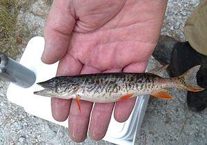 Redfin pickerel - Man holding a captured redfin pickerel.