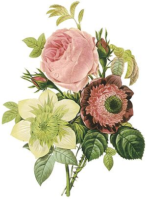 Pierre-Joseph Redouté - Flowers by the artist (Rosa centifolia, anemone, and clematis)