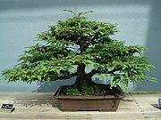 An example of a bonsai Redwood, from the Brooklyn Botanic Garden.
