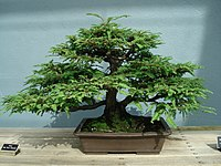 Redwood bonsai.JPG