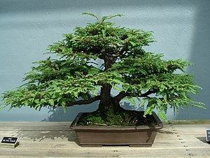55 year old Sequoia sempervirens (California R...