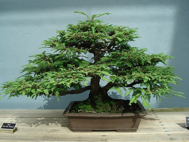 Fichier:Redwood bonsai.JPG