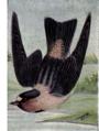 Reed-cliff-swallow.png