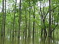 Refuge Managers Worry that Weeks of Inundation Will Damage Bottomland Hardwood Forests, as Seen Here on Cache River National Wildlife Refuge (5758554905).jpg