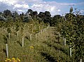 Regimented Planting - geograph.org.uk - 509783.jpg