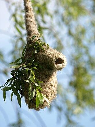 Penduline tit - Eurasian penduline tit nest in Poland