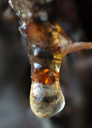 Evidence of common descent - Figure 3a: An insect trapped in amber