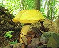 Retiboletus ornatipes 45151.jpg