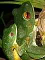 Rhacophorus amplexus 2.jpg