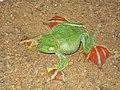 Rhacophorus malabaricus 2.jpg