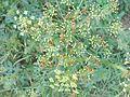 Rhagonycha fulva3pl.jpg