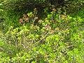 Rhododendron ferrugineum1.JPG