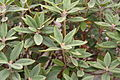 Rhododendron pseudochrysanthum 03.jpg