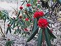Rhododendrons on Pike Peak trek.jpg