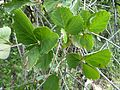 Rhoicissus tridentata, Phalandingwe.jpg