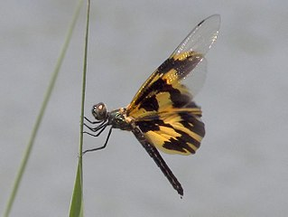<i>Rhyothemis</i> genus of insects