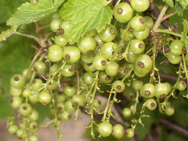 File:Ribes by Ron.jpg