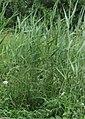 Riet Phragmites australis planten.jpg