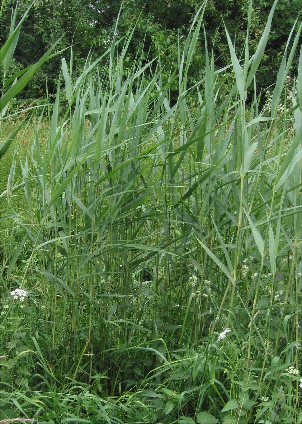 Riet Phragmites australis planten