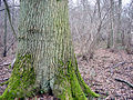 Rihoult-Clairmarais chêne.jpg