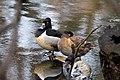 Ring necked ducks prospect park april 2019 1.jpg