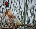 Ringed-neck Pheasant (33383143210).jpg