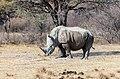 Rinoceronte blanco (Ceratotherium simum), Santuario de Rinocerontes Khama, Botsuana, 2018-08-02, DD 08.jpg