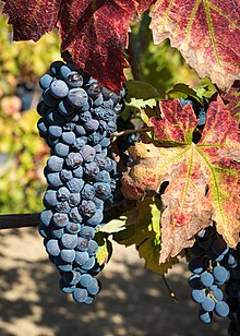 Ripe Zinfandel grapes in Dry Creek Valley-8958.jpg