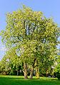 Robinia pseudoacacia - Robinie - Mörfelden-Walldorf - Germany - 02.jpg