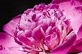 Romania flower 3386 (5895208833).jpg