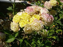 Rosa 'Comtesse du Barry' Verschuren 1993 RPO1.jpg
