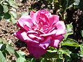 Rosa 'Embruixada' Dot RPO.jpg