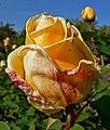 Rosa Golden Ophelia 2.jpg